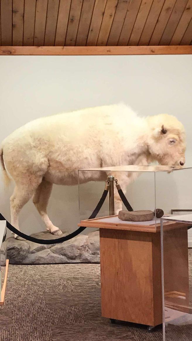 white cloud albino buffalo