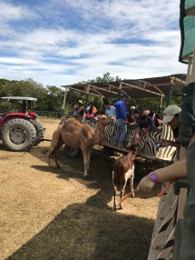 camels on safari