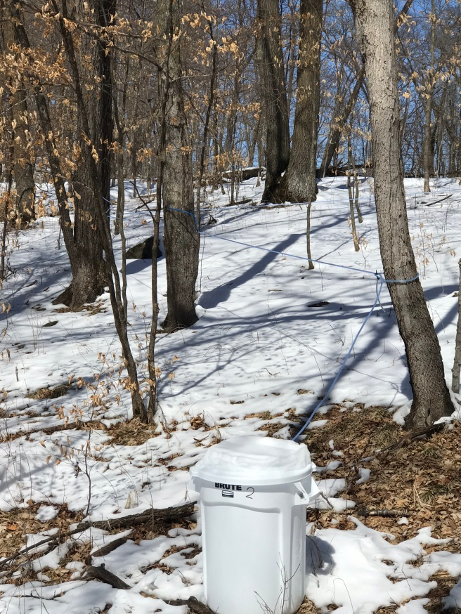 lines and taps collect sap from the maple trees